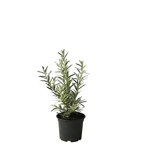 Grüner Garten Shop Sanddorn Tarmo männliche Befruchter Sanddornpflanze kleinbeibend im 3 Liter Topf 40-80 cm
