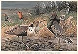 Vögel - Der Kampfläufer im Hochzeitskleid. Schöne Abbildung der balzenden Vögel. [Grafik]