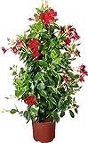 Pianta vera da esterno DIPLADENIA MANDEVILLA SPLENDES DAI FIORI ROSSI 'RED SCARLET' ornamentale Ø 21 cm - h 100 cm