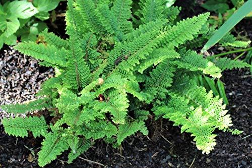 Polystichum tsus-simensis - 2 Pflanzen im 0,5 lt. Vierecktopf
