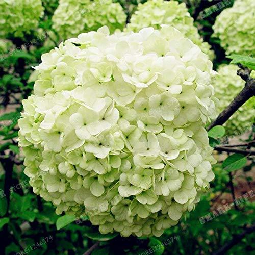 10pcs ortensia bonsai cina ortensia, hydrangea bonsai del fiore 20 colori naturali di crescita per il giardino domestico di piantare fiori bonsai: 3