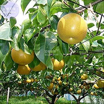 BELLFARM Bonsai Nashi-Birne Asiatische chinesische Birnbaum Garten süße Riesen Gelb Haut Weiß Innerhalb Juicy -10pcs / Packung -