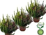 Calluna vulgaris, Winterheide, Besenheide, zweifarbig als Twin, 3Pflanzen