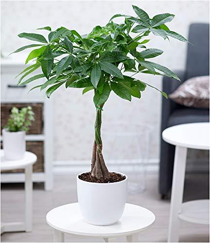 "BALDUR-Garten Pachira\""Aquatica\"", 1 Pflanze Rasierpinselbaum Glückskastanie"