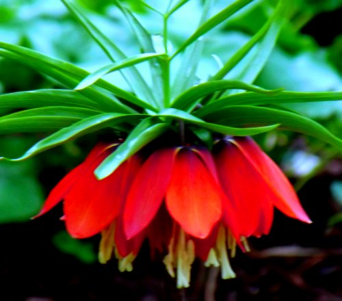 Rote Kaiserskrone Fritillaria imperialis