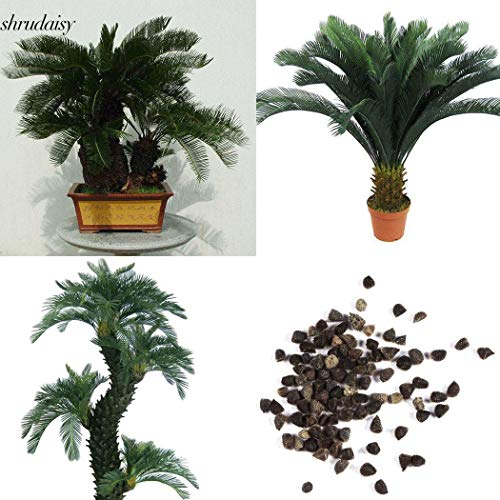 Indoor-sago Palm (ScoutSeed 20 Stücke: Hausgarten Balkon Dekoration Bonsai King Sago Palms Samen S5DY)