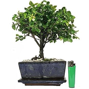 Sa15bg Chinese Bird Plum Flowering Indoor Bonsai Tree Gift Set Indoor Plants Bonsai