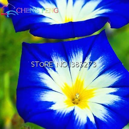 Pinkdose free shipping morning glory piante 100pcs giardino fiori casa bonsai balcone fiori petunia piante colorate plantas pentole: blu