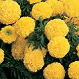 Flower Seeds African Marigold F1 Seeds Yellow Flower Seeds For Home Garden-100 Seeds by Creative Farmer