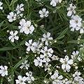 lichtnelke - Zwergschleierkraut (Gypsophila repens 'Alba') von Lichtnelke Pflanzenversand auf Du und dein Garten