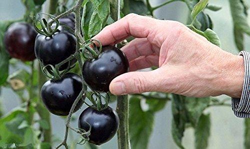 200 / bag schwarz Tomatensamen Gemüse und Fruchtsamen Beständig gegen Krankheiten Zierpflanze Obstbaum-Setzlinge
