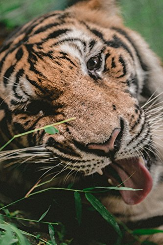 Regal Tiger Chomping Grass: 150 page lined 6 x 9 notebook/diary/journal -