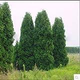 100pcs / lot Microbiota decussata, siberiano Carpet Cypress, Tuia semi fiore bonsai impianto fai da te giardino di casa