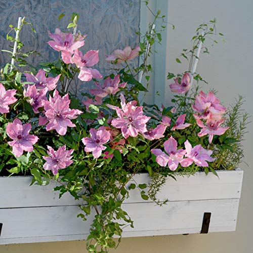 OBI Blue Flowers