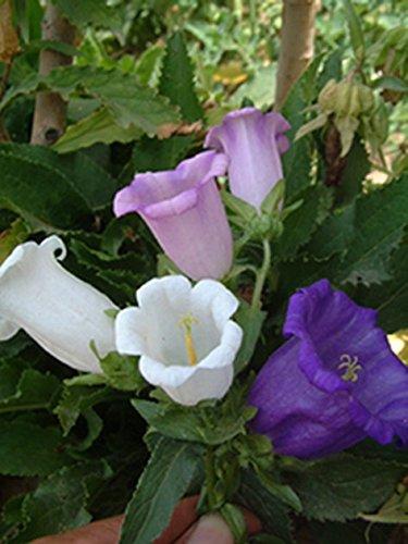 la médecine de santé des semences - les semences] [Grand campanule mélange de fleurs traiter la toux rhume -100seed G36