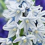 Portal Cool 120 Puschkinia libanotica russe Snowdrop vivace plante printemps bulbes de fleurs