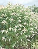 Beetpflanzen (Buddleja weiß (Sommerflieder)