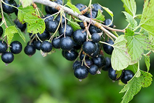 """Schwarze Johannisbeere 2 Töpfe (Ribes nigrum) """"die Vitaminbombe"""""""