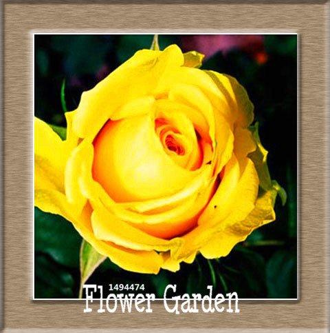 Pots de fleurs Big jardinières, 20 types, 50 PCS / Lot, rose graines arc-en-Belle rose graines bonsaïs graines, # 10 B4LT8H
