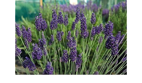 Sent In 9cm Pot Lavandula x chaytoriae /'Sawyers/' Lavender