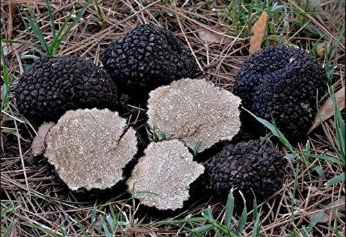 Portal Cool 10 G Tartufo Estivo Scorzone Tuber Aestivum micelio di Fungo Spawn Semi Spore