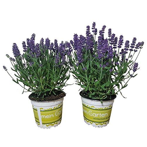 2 echte Lavendelpflanzen: Lavendelkräuter im 12 cm Topf - winterharter Lavendel für lila Lavendel-Deko | frische Duftpflanzen