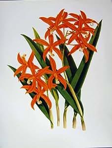 Verde Arancio di Harpophylla di Laelia dei Fiori delle Orchidee C1979