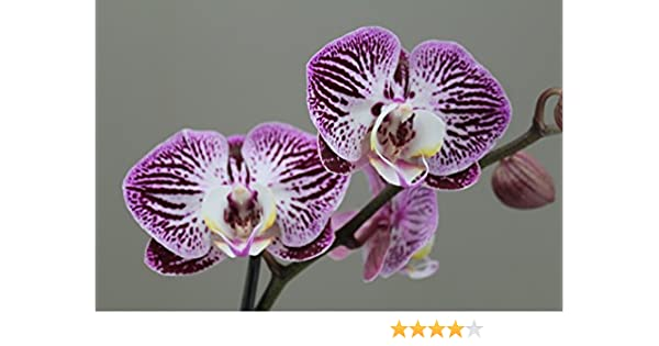 Beautiful Purple Orchid Moth 2 stem - Phalaenopsis - Next Day Delivery Orchid, plant, gift, Christmas, love, luxury, beauty, indoor plant, easy care, ...