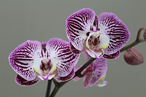 beautiful-purple-orchid-moth-2-stem-phalaenopsis-next-day-delivery-orchid-plant-gift-christmas-love-