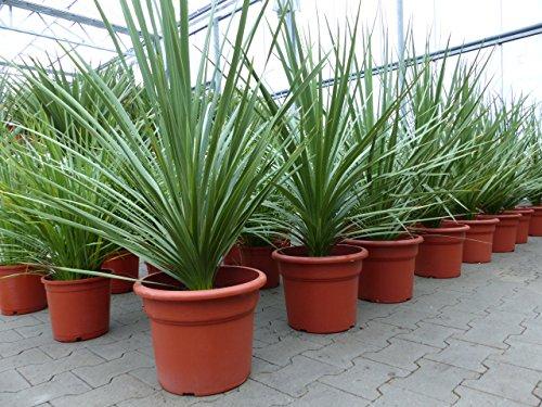 Dracaena 'Indivisa' Drachenbaum 120 - 130 cm, pflegeleichte Zimmerpflanze + Büropflanze (120 - 130 cm Busch)