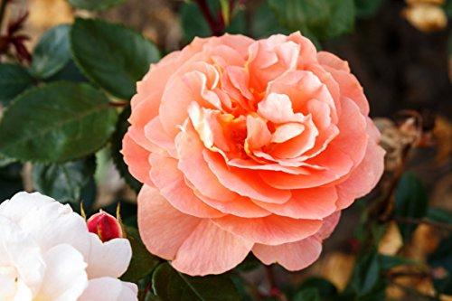 Beetrose – Die Schöne vom See® Wurzelware Qualität A – apricot-orange Blüten – floranza®