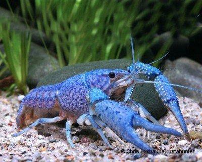 Garnelio - Blauer Floridakrebs - Procambarus alleni - 1 Pärchen