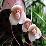 Generic Generische Affe Gesicht Orchideen Samen mehrere Sorten Pflanzen Garten Bonsai Blume-200 PCS