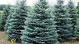 Silberfichte Blaufichte Picea Pungens 50-80cm Tanne Fichte Baum