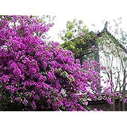 Freies Verschiffen 100 Mix Farbe Bougainvillea Balkon Topf, Garten Bonsai Blume Pflanze enorm auffällige, floriferous robuste Pflanze 7