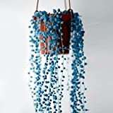 Yukio Samenhaus - 50 Stück Hängepflanze Perlenkette Erbse am Band - Senecio rowleyanus (String of Pearls) Zimmerpflanze, Dekoration für Fenster/Balkon/Terassen
