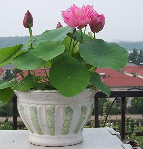 Lotus Blume, Samen (Bonsai Lotus / Wasser Lily Blume Bowl-Pond 5 Frische Samen / pinke Farbe Lotus)