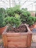 Pinus mugo mughus Formschnitt - Krummholz-Kiefer Bonsai