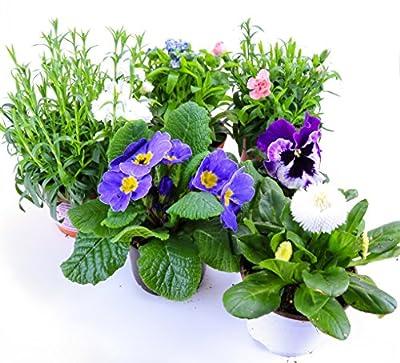 Frühlingsblumen Set 7, Nelken, Primeln, Vergiessmeinnicht, Stiefmütterchen & Bellis von Weseler Kräuterparadies auf Du und dein Garten