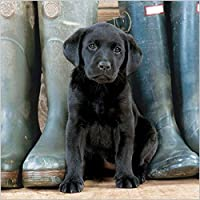 Photographic Greeting Card (ABA9046) Blank / Birthday - Black Labrador Puppy - BBC Countryfile