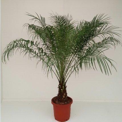 Phoenix Roebelenii Zwerg-Dattelpalme 90-100 cm /  Zimmerpalme