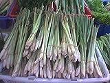 100+ Samen -Zitronengras- (Cymbopogon citratus) -Lecker für die Asiatische Küche-
