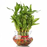 #10: Agami Green 2 Layer Lucky Bamboo plant with Big Round Glass Pot and Colored Jelly Balls
