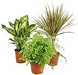 Zimmerpflanzen Grünpflanzen Mix nach Ihren Wünschen