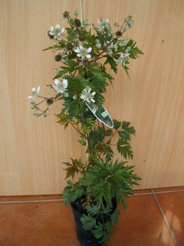 immergrune-dornlose-brombeere-rubus-thornless-evergreen-80-cm-hoch-im-2-liter-pflanzcontainer