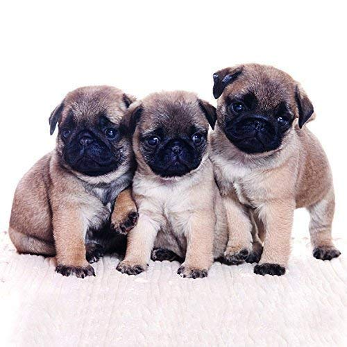 Serviette Ambiente Motiv : Pug Dog - Mops - Möpse 20 Servietten pro Packung - Mops-fotos