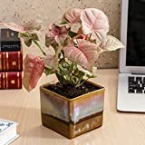 #3: Exotic Green Beautiful Syngonium Pink Indoor Plant Choco Brown Pot