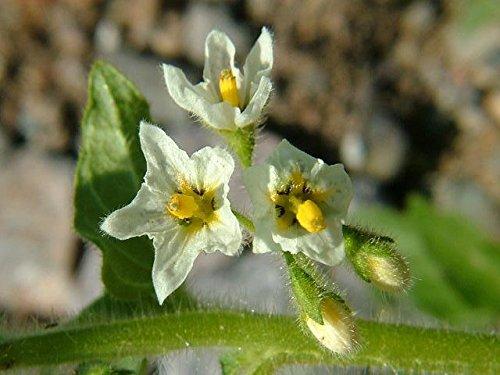 Erbstück 100 Samen Schwarzer Nachtschatten Solanum nigrum Garten Huckleberry Hierba Mora Seed