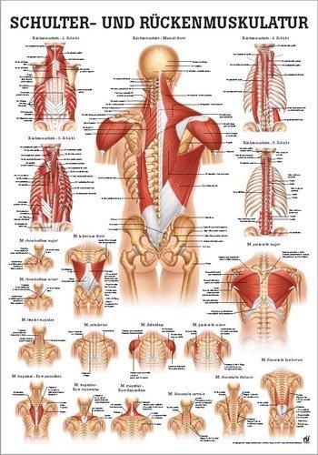 Ruediger Anatomie PO50d Schulter und Rückenmuskulatur Tafel, 50 cm x 70 cm, Papier