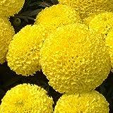 semillas de flores en maceta Tagetes erecta, amarillo caléndula azteca, semillas de crisantemo celulares, alrededor de 50 partículas